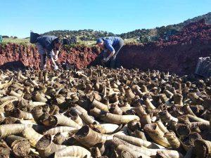 Duizenden koeienhorens gevuld met mest die laag voor laag worden begraven om een jaar later weer te worden opgegraven.